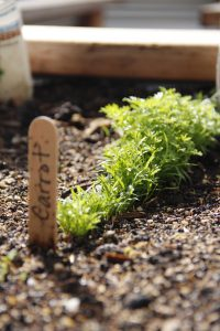 l-garden-carrot-seedlings